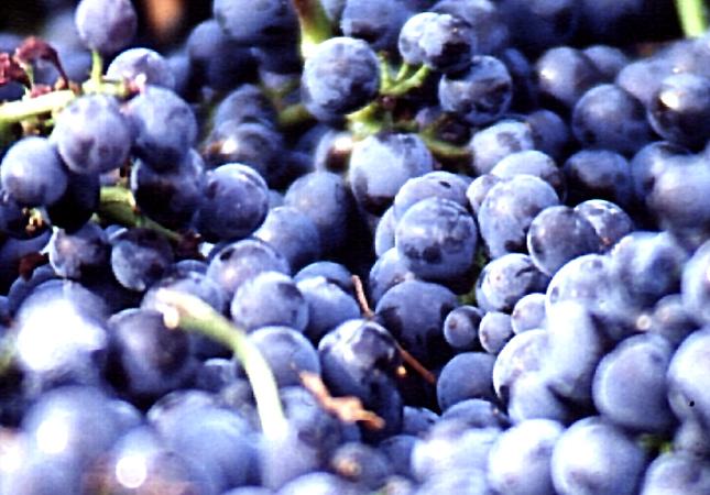AOC Meursault, vin de Bourgogne